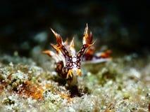 Nudibranch seaslug close-up op een zwarte achtergrond royalty-vrije stock fotografie