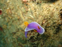Nudibranch sensible et pourpré Photo libre de droits