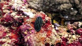 Nudibranch slug verrucosa on seabed underwater. Nudibranch slug verrucosa on seabed underwater in Red Sea. Swimming in world of colorful beautiful wildlife stock video footage