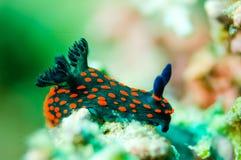 Nudibranch som kryper över den nedersta substraten i Derawan, Kalimantan, Indonesien undervattens- foto Arkivbilder