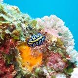 Nudibranch subacuático Fotos de archivo