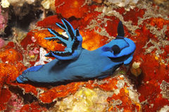 Nudibranch, Tambja-morosa Stockbild