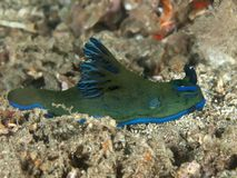 Nudibranch tambja morosa. In molucca sea stock photography