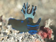 Nudibranch tambja morosa Stock Images