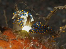 Nudibranch Tenellia sp. Royalty Free Stock Photos