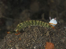 Nudibranch Thuridilla gracilis Stock Photos