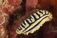 Nudibranch (varicosa Phyllidia) Στοκ Φωτογραφία