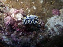 nudibranch varicosa phyllidia Στοκ Φωτογραφία