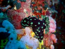 Nudibranch in verde Insel Stockbild