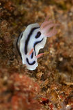 Nudibranch - vlakke overzeese worm Stock Afbeelding