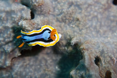 Nudibranch - vlakke overzeese worm Royalty-vrije Stock Fotografie