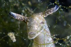 Nudibranche angry look. Nudibranche facing in cam angry look. Netherlands Royalty Free Stock Image