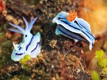 Nudibranches royalty free stock photos
