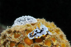 Nudibranches Royalty Free Stock Photography
