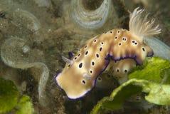 nudibranchrisbeciatryoni Royaltyfria Foton