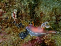 Nudibranchs,有点儿象海参,进来实际上颜色的每个颜色和组合并且是极端美丽的 库存图片