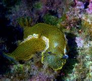 Nudibranchs Fotografie Stock Libere da Diritti