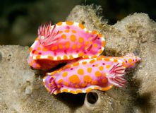 Nudibranchs Royalty Free Stock Photos