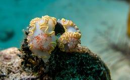 Nudibranchs con l'arricciamento giallo sulla scogliera di largo di Cayo immagine stock
