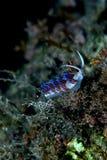 Nudibranchs cratena stock images