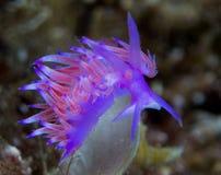 Nudibranchs i deras livsmiljö arkivfoto