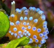 Nudibranchs in ihrem Lebensraum lizenzfreie stockfotos