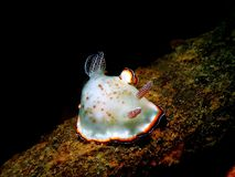 Nudibranchs, kind of like a sea slug, come in virtually every color and combination of colors and are extremely beautiful royalty free stock image