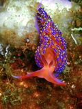 Nudibranchs, kind of like a sea slug, come in virtually every color and combination of colors and are extremely beautiful royalty free stock images