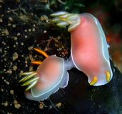 Nudibranchs, kind of like a sea slug, come in virtually every color and combination of colors and are extremely beautiful stock photography