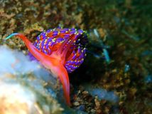 Nudibranchs, kind of like a sea slug, come in virtually every color and combination of colors and are extremely beautiful royalty free stock photo