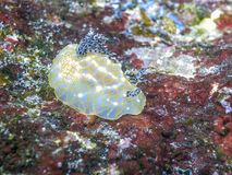 Goldace Nudibranch. Nudibranchs, sea slugs and are members of the class Gastropoda in the phylum Mollusca Stock Images