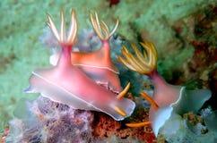 Nudibranchs, soort gelijkaardig een overzeese naaktslak, komt in vrijwel elke kleur en combinatie kleuren en is uiterst mooi royalty-vrije stock afbeeldingen