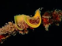 Nudibranchs, soort gelijkaardig een overzeese naaktslak, komt in vrijwel elke kleur en combinatie kleuren en is uiterst mooi royalty-vrije stock afbeelding