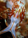 Nudibranchs, sorten av som en havskula som komms i faktiskt varje färg, och kombinationen av färger och är extremt härliga arkivbilder