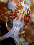 Nudibranchs, tipo como de uma lesma de mar, vem em virtualmente cada cor e combinação de cores e é extremamente bonito imagens de stock