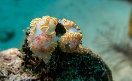 Nudibranchs with yellow frill on the Cayo Largo reef stock image