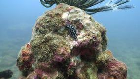Nudibranchsnaaktslak onderwater in oceaan van het wild Filippijnen stock footage