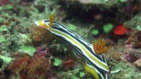 Nudibranchsnaaktslak onderwater in oceaan van het wild Filippijnen stock video