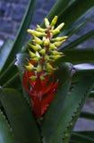 Nudicaulis di Aechmea, bromeliacea brasiliana comune nella R atlantica Fotografia Stock