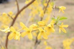 Nudiflorum del Jasminum Fotografia Stock