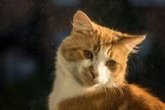 nudnego kota zakończenia wyrażeniowy imbirowy zadumany up Obrazy Stock
