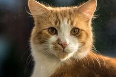 nudnego kota zakończenia wyrażeniowy imbirowy zadumany up Obraz Royalty Free