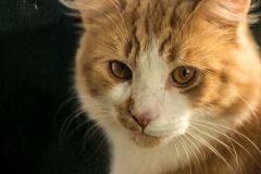 nudnego kota zakończenia wyrażeniowy imbirowy zadumany up Zdjęcia Stock