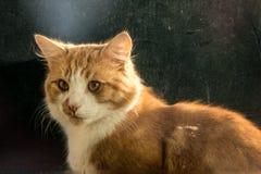 nudnego kota zakończenia wyrażeniowy imbirowy zadumany up Fotografia Royalty Free