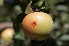Nudny ślad codling ćma Cydia pomonella w jabłku zdjęcie royalty free