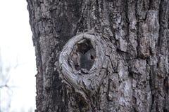 Nudo en la corteza de un árbol Imagen de archivo libre de regalías