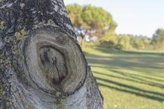 Nudo en la corteza de un árbol de abedul en la pradera de un campo de golf en Italia Fotografía de archivo