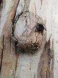 Nudos en árbol Foto de archivo libre de regalías