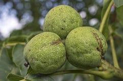 Nueces con la cáscara verde en rama de árbol imagen de archivo