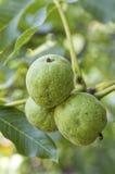 Nueces con la cáscara verde en rama de árbol fotos de archivo